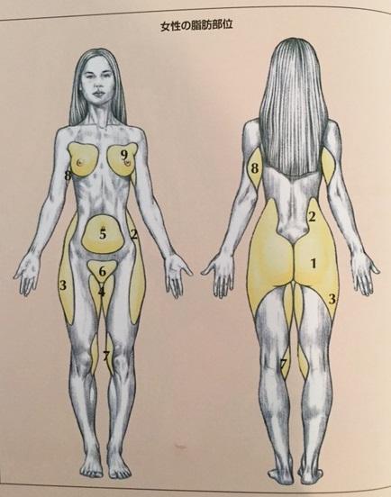 女性の脂肪分布図